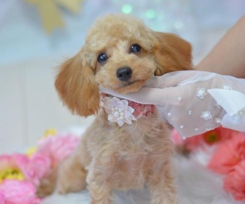 トイプードルの子犬(ID:1234911236)の1枚目の写真/更新日:2021-08-02
