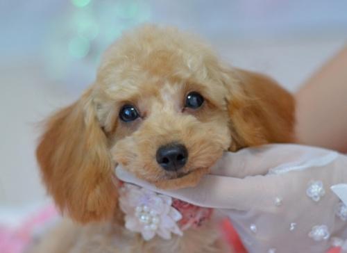 トイプードルの子犬(ID:1234911236)の2枚目の写真/更新日:2021-10-10