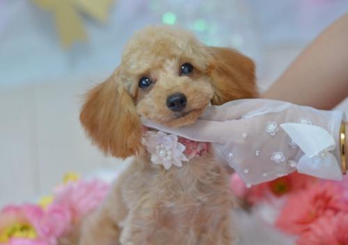 トイプードルの子犬(ID:1234911236)の2枚目の写真/更新日:2021-08-02