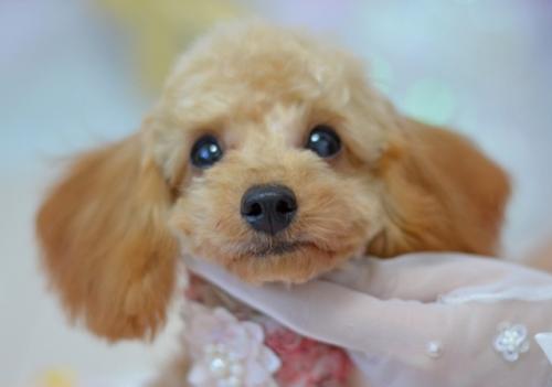 トイプードルの子犬(ID:1234911236)の4枚目の写真/更新日:2021-10-10