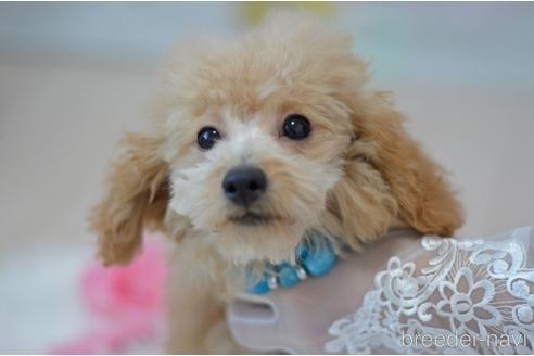 トイプードルの子犬(ID:1234911237)の1枚目の写真/更新日:2021-08-04