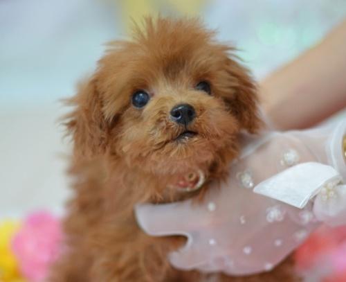 トイプードルの子犬(ID:1234911238)の1枚目の写真/更新日:2021-10-03
