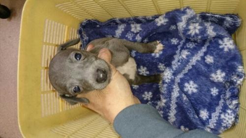 イタリアングレーハウンドの子犬(ID:1235011027)の1枚目の写真/更新日:2017-02-02