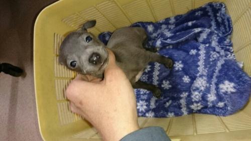 イタリアングレーハウンドの子犬(ID:1235011028)の1枚目の写真/更新日:2017-02-02