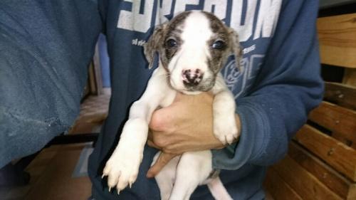 ウィペットの子犬(ID:1235011042)の1枚目の写真/更新日:2018-01-19