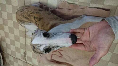 ウィペットの子犬(ID:1235011044)の1枚目の写真/更新日:2018-02-06