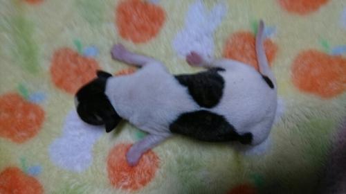 ウィペットの子犬(ID:1235011050)の2枚目の写真/更新日:2018-10-19