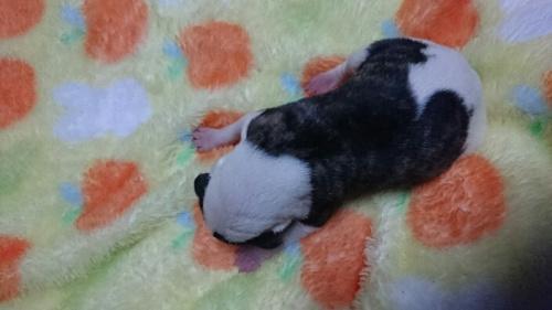 ウィペットの子犬(ID:1235011051)の2枚目の写真/更新日:2018-10-20