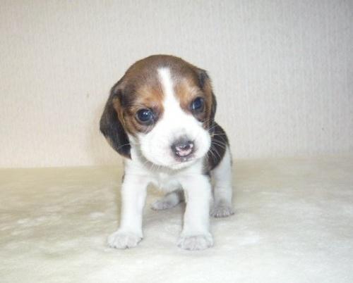 ビーグルの子犬(ID:1235111052)の1枚目の写真/更新日:2017-01-04
