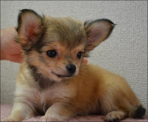 チワワ(ロング)の子犬(ID:1235611001)の1枚目の写真/更新日:2018-08-15