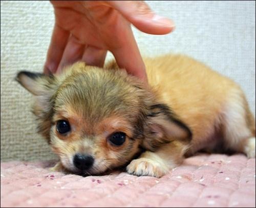 チワワ(ロング)の子犬(ID:1235611001)の2枚目の写真/更新日:2018-08-15