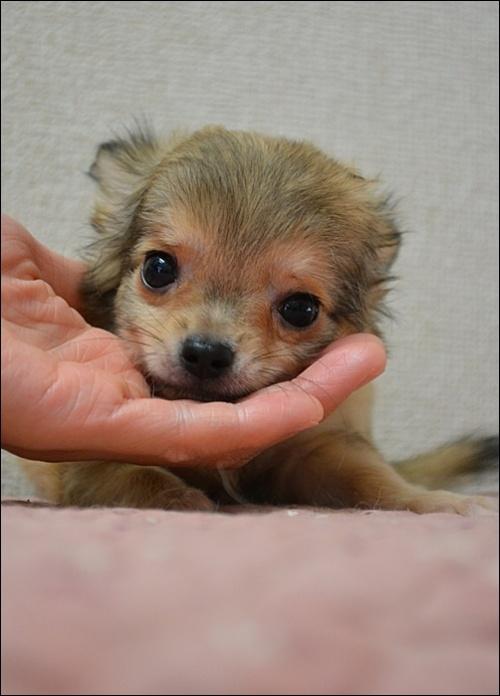 チワワ(ロング)の子犬(ID:1235611001)の3枚目の写真/更新日:2018-08-15