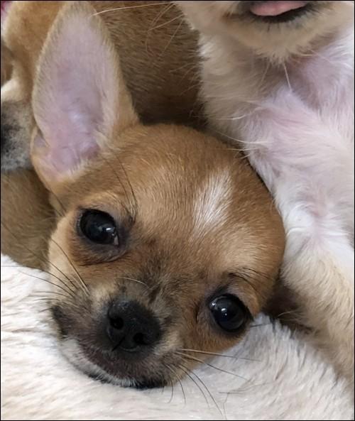 チワワ(ロング)の子犬(ID:1235611002)の2枚目の写真/更新日:2018-08-15