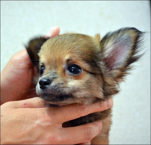 チワワ(ロング)の子犬(ID:1235611003)の3枚目の写真/更新日:2018-08-15