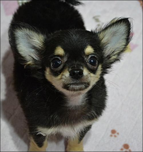 チワワ(ロング)の子犬(ID:1235611004)の1枚目の写真/更新日:2018-09-06
