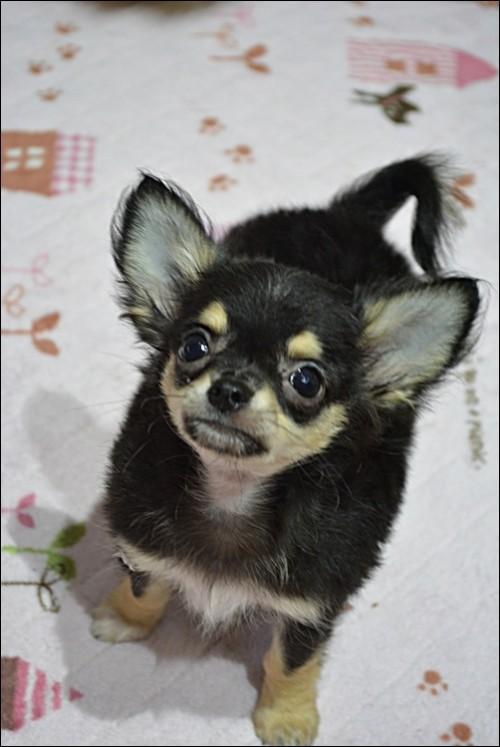 チワワ(ロング)の子犬(ID:1235611004)の2枚目の写真/更新日:2018-09-06