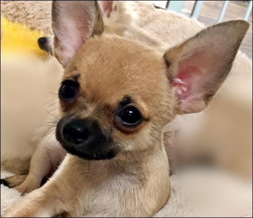 チワワ(スムース)の子犬(ID:1235611025)の1枚目の写真/更新日:2020-08-04