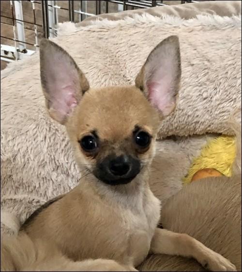チワワ(スムース)の子犬(ID:1235611025)の2枚目の写真/更新日:2020-08-04
