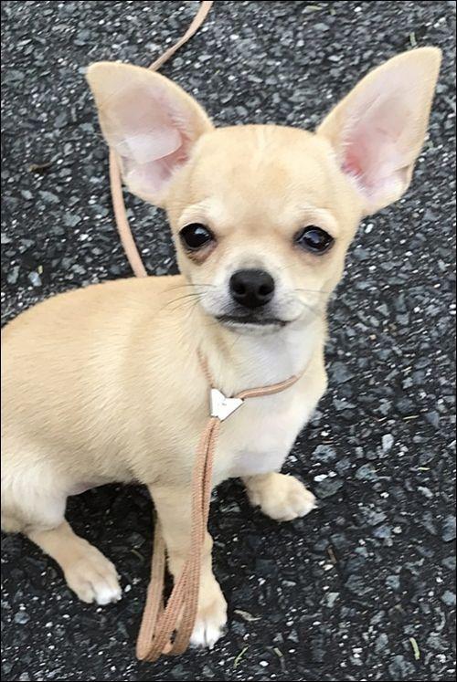 チワワ(スムース)の子犬(ID:1235611029)の1枚目の写真/更新日:2017-10-17
