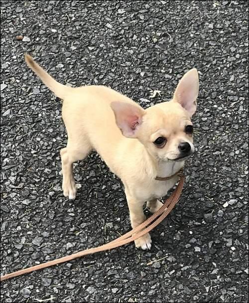 チワワ(スムース)の子犬(ID:1235611029)の3枚目の写真/更新日:2017-10-17