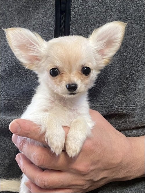 チワワ(ロング)の子犬(ID:1235611030)の1枚目の写真/更新日:2017-10-10