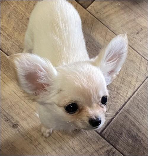 チワワ(ロング)の子犬(ID:1235611030)の3枚目の写真/更新日:2017-10-10