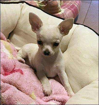 チワワ(スムース)の子犬(ID:1235611031)の1枚目の写真/更新日:2017-11-08