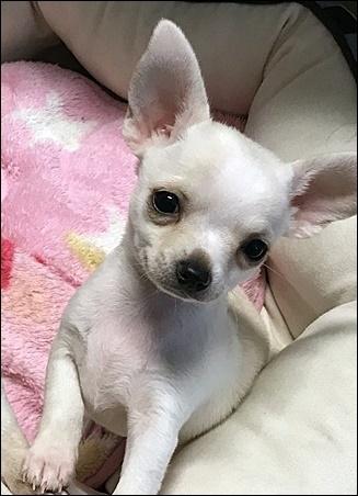 チワワ(スムース)の子犬(ID:1235611031)の2枚目の写真/更新日:2017-11-08