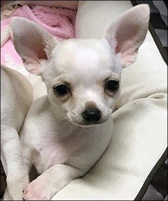 チワワ(スムース)の子犬(ID:1235611031)の3枚目の写真/更新日:2017-11-08