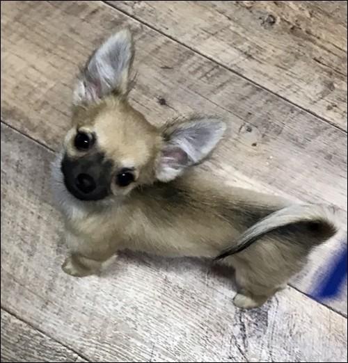 チワワ(ロング)の子犬(ID:1235611033)の1枚目の写真/更新日:2018-02-05