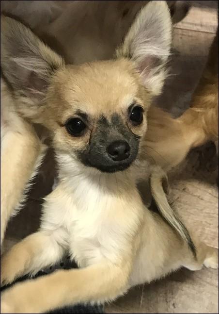 チワワ(ロング)の子犬(ID:1235611033)の2枚目の写真/更新日:2018-02-05