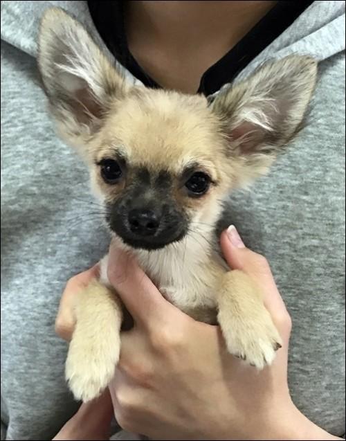 チワワ(ロング)の子犬(ID:1235611033)の3枚目の写真/更新日:2018-02-05