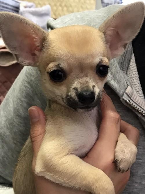 チワワ(スムース)の子犬(ID:1235611034)の1枚目の写真/更新日:2018-02-05