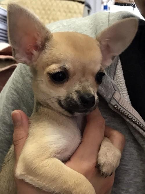 チワワ(スムース)の子犬(ID:1235611034)の2枚目の写真/更新日:2018-02-05