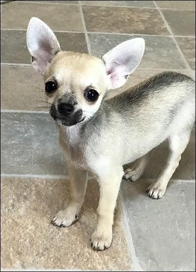 チワワ(スムース)の子犬(ID:1235611034)の4枚目の写真/更新日:2018-02-05