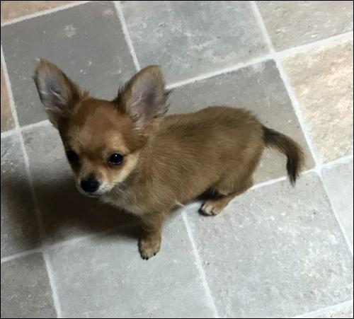 チワワ(ロング)の子犬(ID:1235611035)の2枚目の写真/更新日:2018-02-16