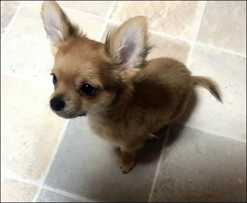 チワワ(ロング)の子犬(ID:1235611035)の4枚目の写真/更新日:2018-02-16