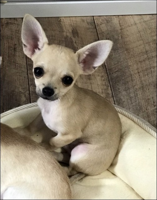チワワ(スムース)の子犬(ID:1235611037)の1枚目の写真/更新日:2018-02-16