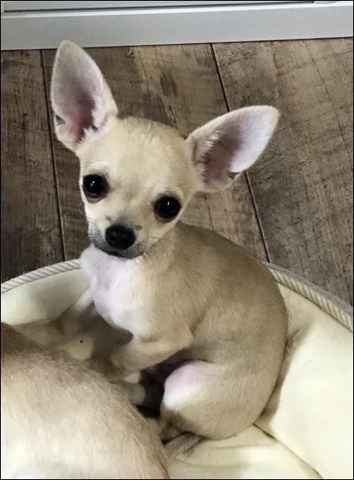 チワワ(スムース)の子犬(ID:1235611037)の2枚目の写真/更新日:2018-02-16