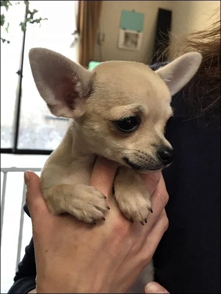 チワワ(スムース)の子犬(ID:1235611037)の3枚目の写真/更新日:2018-02-16