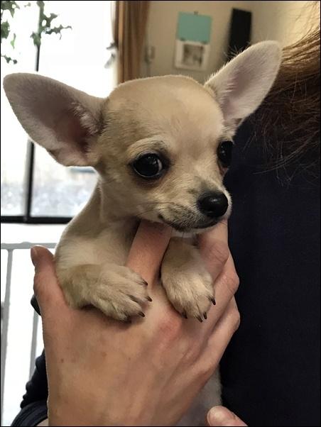 チワワ(スムース)の子犬(ID:1235611037)の4枚目の写真/更新日:2018-02-16