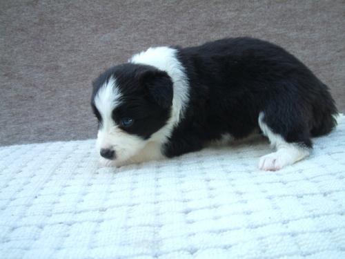 ボーダーコリーの子犬(ID:1235911064)の3枚目の写真/更新日:2018-06-29