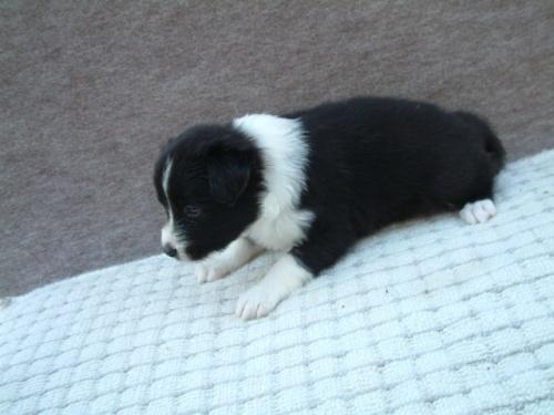ボーダーコリーの子犬(ID:1235911066)の3枚目の写真/更新日:2018-06-29
