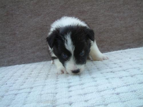 ボーダーコリーの子犬(ID:1235911069)の1枚目の写真/更新日:2018-06-29