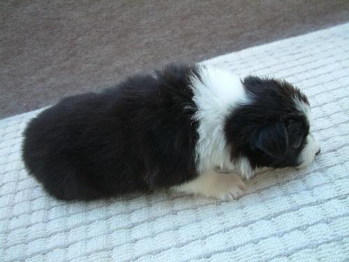ボーダーコリーの子犬(ID:1235911069)の2枚目の写真/更新日:2018-06-29