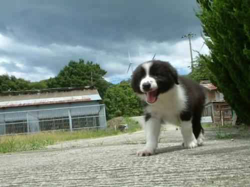 ボーダーコリーの子犬(ID:1235911070)の2枚目の写真/更新日:2018-07-31