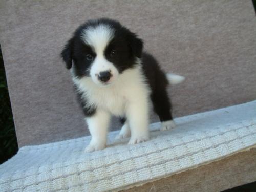 ボーダーコリーの子犬(ID:1235911073)の1枚目の写真/更新日:2018-08-14