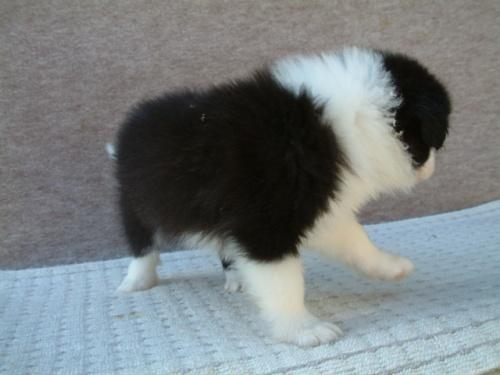 ボーダーコリーの子犬(ID:1235911073)の3枚目の写真/更新日:2018-08-14