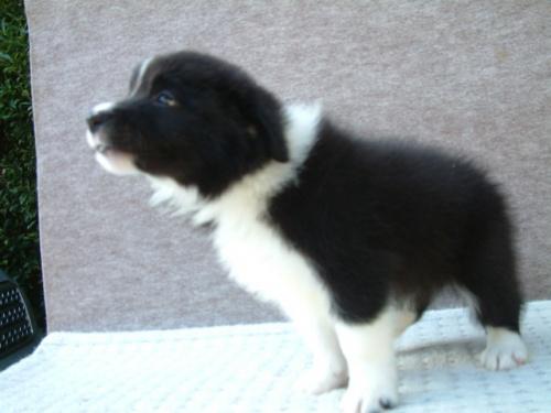 ボーダーコリーの子犬(ID:1235911077)の2枚目の写真/更新日:2018-08-14