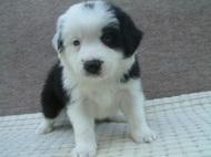 ボーダーコリーの子犬(ID:1235911082)の1枚目の写真/更新日:2019-03-22